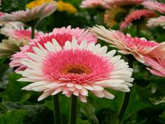 Incredible Gerberas