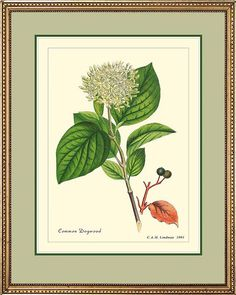 COMMON DOGWOOD  Botanical print reproduction  247 by PosterPlace