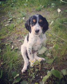 3 år siden du kom til oss�� #zita #dog #dogs #englishsetter #engelsksetter  #small #norway #2014 #lifequality #utno #hunt #hunting #smile #happy #happyness #hund #dogsofinstagram #natgeo #instapic #pet #instadogs #woof #instagood #natureaddict #adorable http://misstagram.com/ipost/1546992454422865544/?code=BV4BXDkFaaI