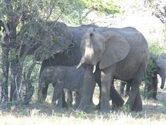 Elephants Tanzania, Elephants, Animals, Animais, Animales, Animaux, Animal, Elephant, Dieren