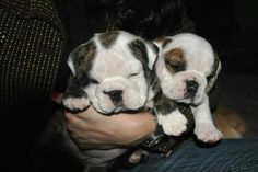 English bulldog puppies