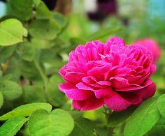 Pink Primrose