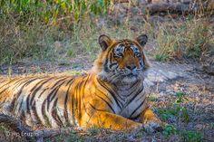 Male Tiger #24 - Ranthambore Nationalpark India, Board, Animals, National Forest, Goa India, Animales, Animaux, Animal, Animais