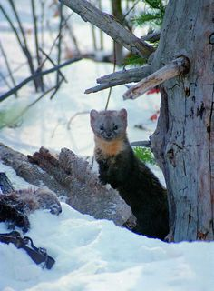 Sable (Martes zibellina) is a species of marten which inhabits forest environments, primarily in Russia from the Ural Mountains throughout Siberia, eastern Kazakhstan, in northern Mongolia, China, North and South Korea and on Hokkaidō in Japan.