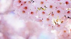 écran fleurs, Sakura, pétales, printemps, fleurs, cerisier .