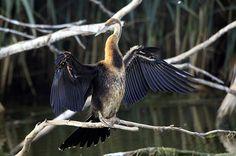 South Africa, African Darter, Anhinga rufa at Rietvlei Nature Reserve
