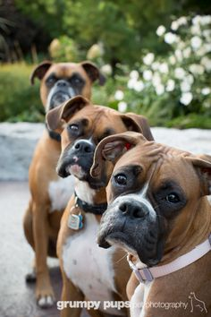 Boxers are the best www.grumpypups.com