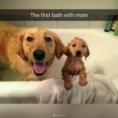 Golden Retriever puppy's first bath with her mom! Cute, funny, puppy