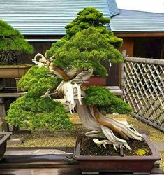 Bonsai Perfection. For available artificial bonsai go to https://www.fauxtreesnshrubs.com/product-category/trees/bonsai/