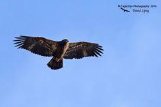 1016PS 1st Year Bald Eagle - West Newburry, MA 11-12-16