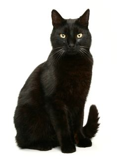 Bombay Cat #catfood #aboutcat - Know more about cats at Catsincare.com!