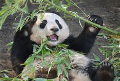 Xiao Liwu is starting to develop quite the bamboo addiction.