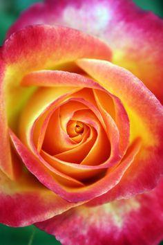 ~~Rose by Jenny Ross~~