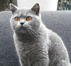 British blue shorthair Maura