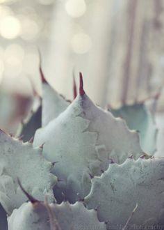 Sparkling Mint Succulent - Dreamy Light Pale Pastel Succulent Photography Print  (5x7) Mint Green Blue Gray Succulent Art