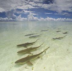 Sharks, sea life, animals, ocean, ocean life, aquatic animals, fish, fishes, marine biology, water, under water life #sealife #marine