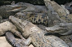 Nile Crocodile Attacks On Humans | environment and different kinds of sharks seen attacking and killing
