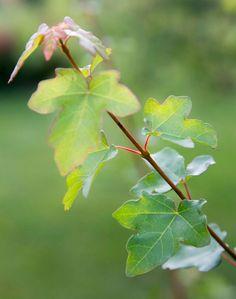 Niverävaahtera kasvaa 3-5-metriseksi puuksi. Photo Teija Tuisku viherpiha.fi Small Gardens, Plant Leaves, Plants, Trees, Little Gardens, Plant, Home Decor Trees, Wood, Small Backyards