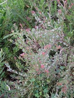 Adenanthos cuneatus [Coastal Jug Flower] part of the Proteaceae family with Dark pink flowers flowering in Winter-spring avaliable from Australian Native Plants located in Ventura, CA Native Plants, African Plants, Shade Shrubs, Australian Garden, Australian Native Plants, Australian Plants, Australian Native Garden, Plants, Cool Plants