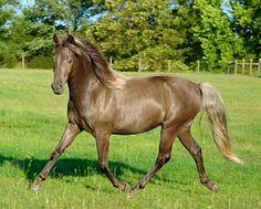 Morgan mare, Charli - smoky black silver dapple.
