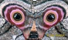 Speckled Emperor Moth  (Gynanisa maja )
