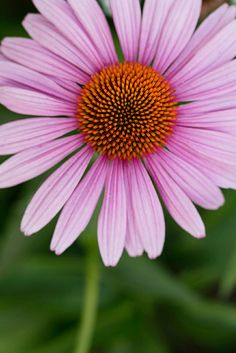 Coneflower (Echinacea purpurea) | We tested the best easy-care varieties of flowers for cutting and using in stunning bouquets. Here are our favorites, chosen for their long bloom times, tall stems, and ample vase life