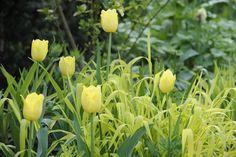 milium effusum 'Aureum'       klarer trockenen Schatten, anskaffes til det nordlige bed?, Blomstrer i mai, sammen med geranium phaeum  080503_2102_havedrømme
