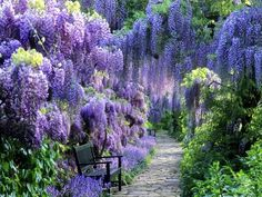 BLUE MOON WISTERIA VINE - FRAGRANT FOOT LONG FLOWERS - AT...