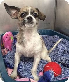 Chihuahua/Shih Tzu puppy named Arabella is up for adoption from the Humane Society of New York.  For more information: http://www.adoptapet.com/pet/12861111-new-york-new-york-chihuahua-mix