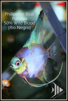 Philippine Blue Rio Negro Paraiba Angelfish