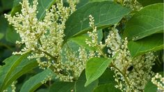 Japanese knotweed (Fallopia japonica) -one of the most invasive species in Britain costing the economy up to annually. Uk News, Flora And Fauna, Environmental Science, Earth Science, Botany, Ecology, Aliens, Britain, Plant Leaves