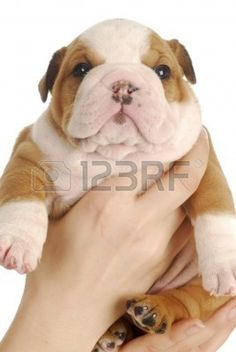 young puppy - four week old english bulldog puppy being held on white background