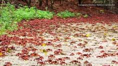 Millions of red crabs migrate to the sea from Christmas Island every year for breeding season.  And this was all captured in this spectacular timelapse by Andrew Watson.
