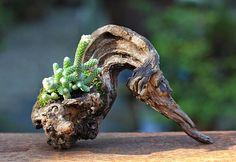 from Huerto Urbano MX ( Bonsai Art, Bonsai Garden, Garden Plants, Driftwood Planters, Driftwood Art, Moss Garden, Garden Art, Mini Bonsai, Paludarium