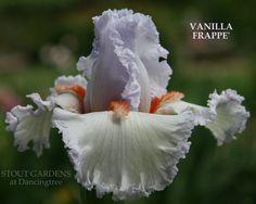 TB Iris germanica 'Vanilla Frappe' (Sutton, 2011)