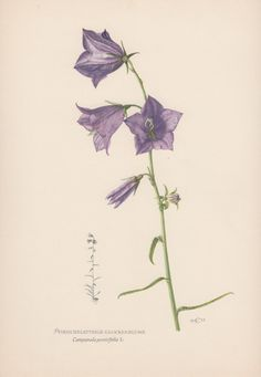Vintage Botanical Print Campanula by AntiquePrintGarden on Etsy