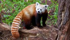 Check this red panda showing some unusual actions upon seeing a rock. By seeing, it seems panda has seen something interesting on the rock.