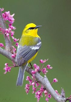 Blue-winged Warbler (Vermivora cyanoptera) - A North American songbird ~ Photo by Matthew Studebaker Cute Birds, Pretty Birds, Exotic Birds, Colorful Birds, Yellow Birds, Beautiful Creatures, Animals Beautiful, Most Beautiful Birds, Kinds Of Birds