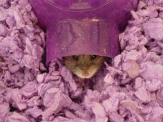 Is that Gerbil Essences I smell? Russian Dwarf Hamster, Gerbil, Hamsters, Guinea Pigs, Funny Cute, Salons, Cute Animals, Fancy, Pets
