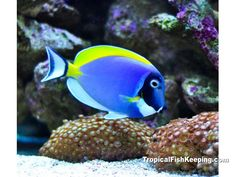 A Powder Blue Tang  Scientific Name: Achanthurus leucosternon  Family: Acanthurid