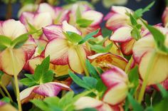 "Hellebore 'GoldenSunrise' - ""Hellebores are tough perennial plants, and their most outstanding attribute is that they bloom when not many other plants do,"""
