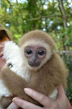 Gibbon at Dade City's Wild Things