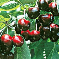 Cherry Compact Stella If you only have room for one sweet cherry tree then  the Compact Stella sweet cherry tree is a good one to plant. It will grow to approx 3m and can be pruned into a vase shape for easy netting to keep birds off ripening fruit.  It produces a heavy crop of dark red fleshed red skinned cherries ripening Dec-Jan depending on what part of the country youre in and is self fertile. Plant your cherry tree in a spot with good airflow to avoid fungal damage and minimise splitting
