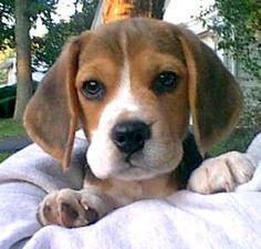 Beagle Puppies (44 Photos)