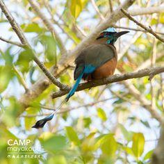 Detectar un motmot en una caminata a lo largo del sendero natural de #Mayakoba es siempre estimulante... Se ven casi ancentrales con su impresionante forma y los colores brillantes! #aves #naturaleza