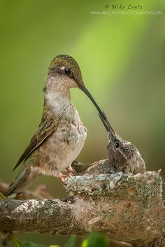 Ruby Throated Hummingbird feeding baby