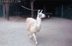 This camp llama. | 19 GIFs That Scream Friday Afternoon