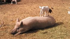 Reactantly bored baby goat. Types of boredom explained by animals...