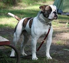 Need to fence in property, then I want to get an american bulldog.