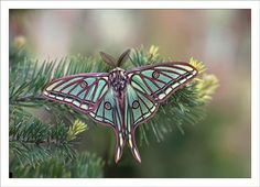 The Spanish Moon Moth, Graellsia isabellae, photographed by Alex Alonso.  Found in Spain & France, this species is entirely dependent on native pine trees.